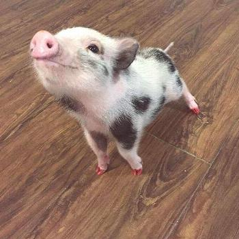 Yup. We Bought A Pet Pig For Our Anxious Daughter.